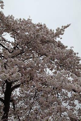 Cherry Blossoms - Washington Dc - 0113125 Print by DC Photographer