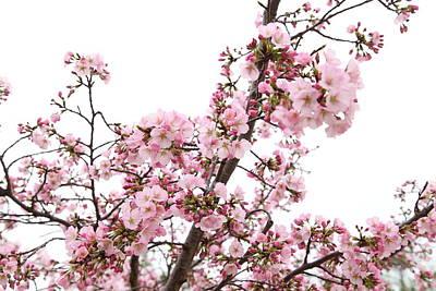 Cherry Blossoms - Washington Dc - 0113127 Print by DC Photographer