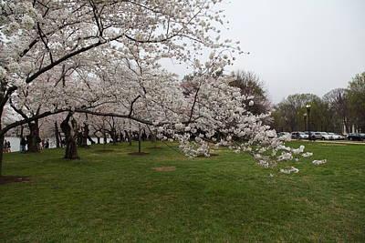 Tidal Photograph - Cherry Blossoms - Washington Dc - 0113130 by DC Photographer