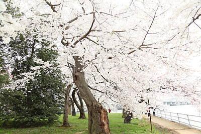Cherry Blossoms - Washington Dc - 0113135 Print by DC Photographer