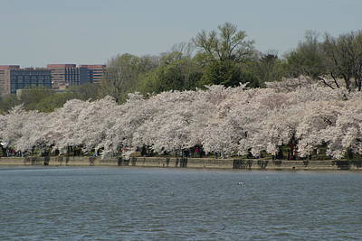Cherry Blossoms - Washington Dc - 011334 Print by DC Photographer