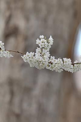 Cherry Blossoms - Washington Dc - 011355 Print by DC Photographer