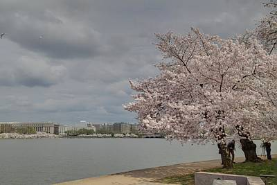 Tidal Photograph - Cherry Blossoms - Washington Dc - 011362 by DC Photographer