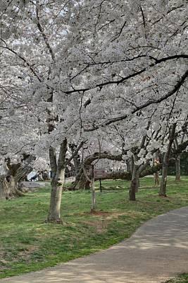 Cherry Blossoms - Washington Dc - 011364 Print by DC Photographer