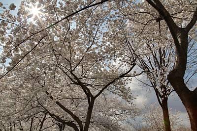 Botanical Photograph - Cherry Blossoms - Washington Dc - 011375 by DC Photographer