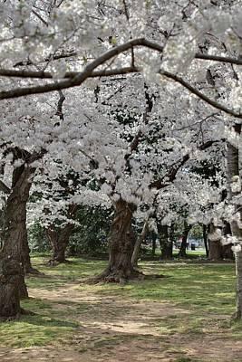 Tidal Photograph - Cherry Blossoms - Washington Dc - 011383 by DC Photographer