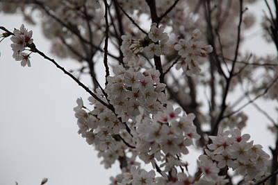 Cherry Blossoms - Washington Dc - 011393 Print by DC Photographer