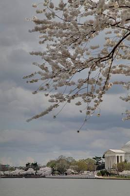 Floral Photograph - Cherry Blossoms With Jefferson Memorial - Washington Dc - 011312 by DC Photographer
