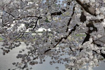 Basin Photograph - Cherry Blossoms With Jefferson Memorial - Washington Dc - 011338 by DC Photographer