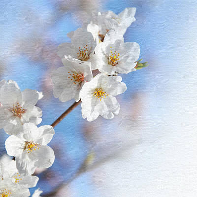 Cherry Tree Blossom Print by Delphimages Photo Creations