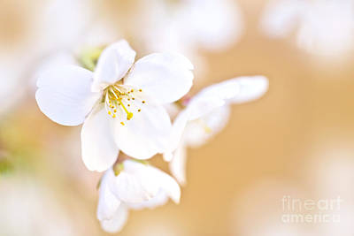 Cherry Tree Flower Print by Delphimages Photo Creations