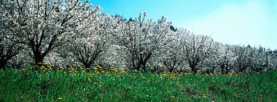 Cherry Blossoms Photograph - Cherry Trees In A Field by Panoramic Images