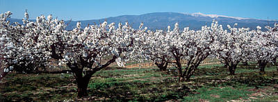 Cherry Blossoms Photograph - Cherry Trees In A Field With Mont by Panoramic Images