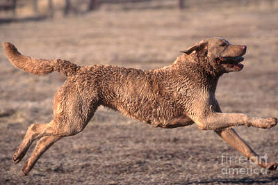 Panting Dog Photograph - Chesapeake Bay Retriever by William H. Mullins