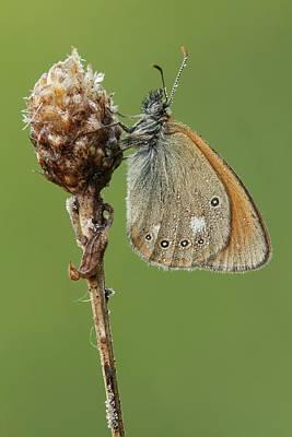 Chestnut Heath Butterfly Print by Heath Mcdonald