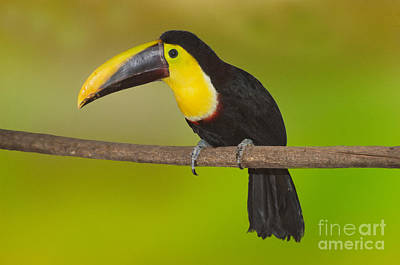Toucan Photograph - Chestnut-mandled Toucan by Anthony Mercieca