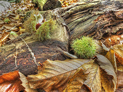 Forest Floor Photograph - Chestnut Seed Pods On The Forest Floor 2 by Gill Billington