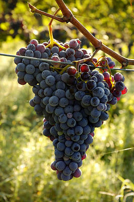 Morning Sun On Vines Photograph - Chianti Grapes by Norman Pogson