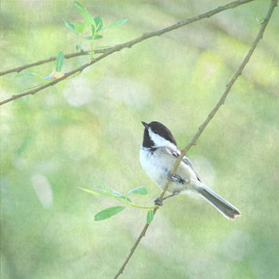 Chickadee Print by Angie Vogel