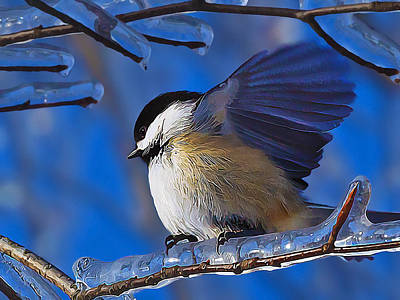 Manipulation Photograph - Chickadee Shakes Off The Cold by Bill Caldwell -        ABeautifulSky Photography
