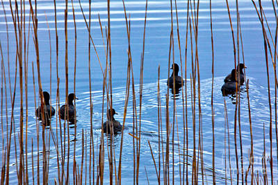 Chicks In Water With Reeds On The Outer Banks I Print by Dan Carmichael