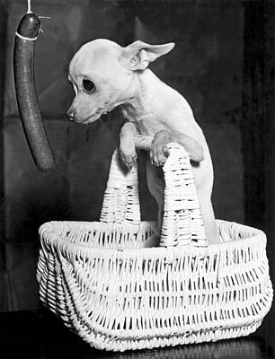 Chihuahua Longs For Sausage Print by Underwood Archives