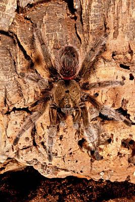 Chilean Beautiful Tarantula, Euathlus Print by David Northcott