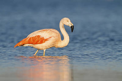 Chilean Flamingo Print by Ronald Kamphius