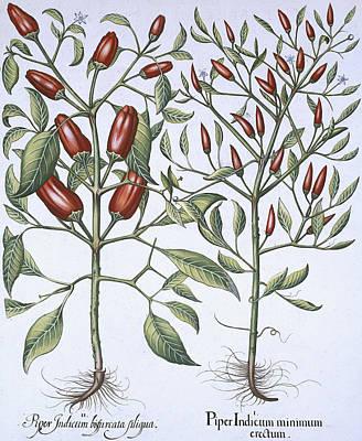 Chilli Pepper Plants Print by German School