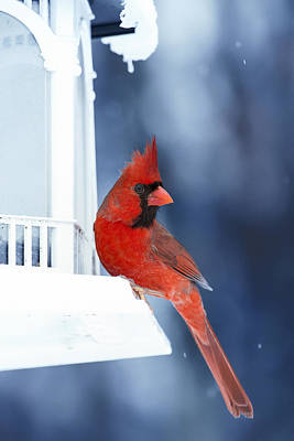 Cardinal Digital Art - Chilly Cardinal Blues by Bill Tiepelman