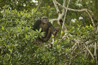 Chimpanzee In Tree Print by Jean-Michel Labat
