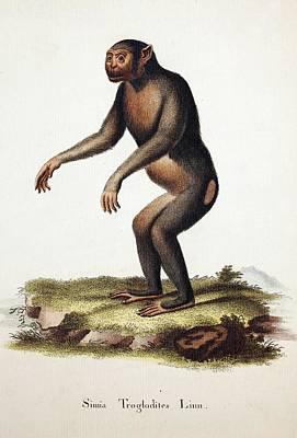 Chimpanzee (linnaeus) Print by Paul D Stewart