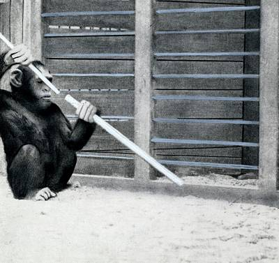Chimpanzee Problem Solving Research Print by American Philosophical Society
