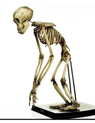 Chimpanzee Skeleton Print by Ucl, Grant Museum Of Zoology