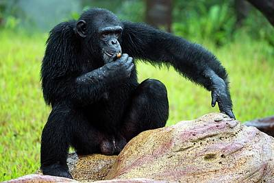 Ape Photograph - Chimpanzees by Pan Xunbin