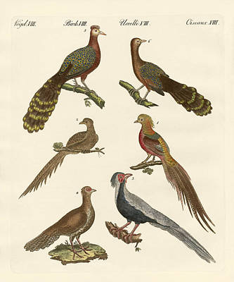 Pheasant Drawing - Chinese Birds by Splendid Art Prints