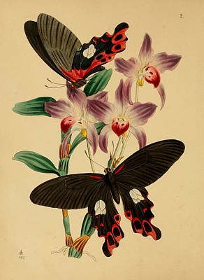 Professional Drawing - Chinese Butterflies by Philip Ralley