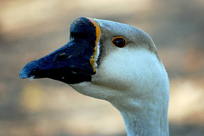 Geese Photograph - Chinese Goose by Lisa Phillips