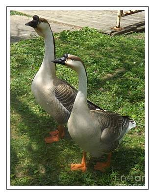 Chinese Swan Goose Pair 2 Print by Sara  Raber