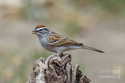 Chipping Sparrow Print by Anthony Mercieca