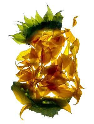 Sunflowers Digital Art - Chiquita Sunflower by Julia McLemore