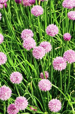 Chives Photograph - Chive (allium Schoenoprasum) Flowers by Adrian Thomas