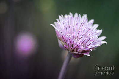 Chives Photograph - Chives Flower Macro by Elena Elisseeva