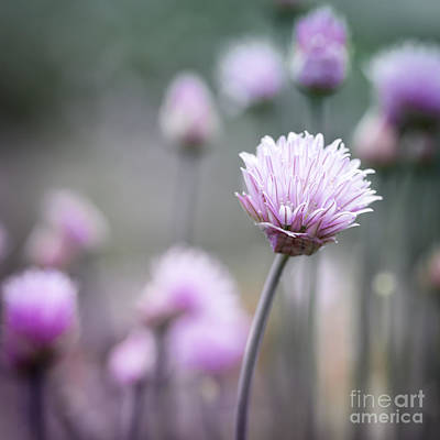 Chives Photograph - Chives Flowering I by Elena Elisseeva