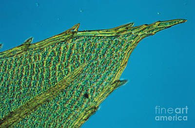 Chloroplasts On Moss Print by Nuridsany et Perennou