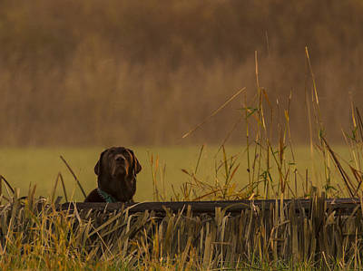 Chocolate Lab Photograph - Chocolate Lab Hunting Ducks by Jean Noren