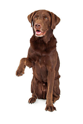 Working Dogs Photograph - Chocolate Labrador Paw Extended by Susan  Schmitz