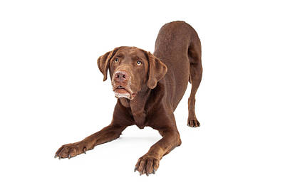 Working Dogs Photograph - Chocolate Labrador Retriever Dog In Downdog Postion by Susan  Schmitz