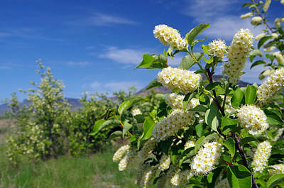 Kamloops Photograph - Choke Cherry Blossoms by Harvey Dalley
