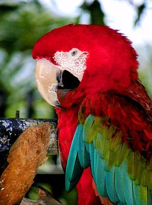 Macaw Photograph - Chowtime by Karen Wiles